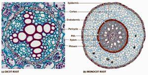 Anatomi Struktur Dalam Akar