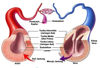 Pembuluh Nadi (Arteri)