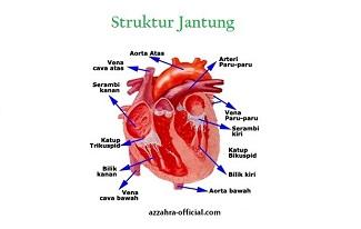 Structur Jantung